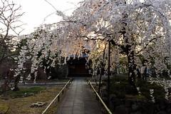 Sakura (walkkyoto) Tags: 桜 sakura 西陣 nishijin 上品蓮台寺 jobonrendaiji 寺 temple 京都 kyoto 日本 japan ultrawideheliar12mmf56