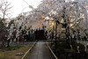 Sakura (walkkyoto) Tags: 桜 sakura 西陣 nishijin 上品蓮台寺 jobonrendaiji 寺 temple 京都 kyoto 日本 japan ultrawideheliar12mmf56