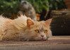 Flat kitty waiting for entertainment (FocusPocus Photography) Tags: linus katze kater cat chat gato tier animal haustier pet gelangweilt bored garten garden