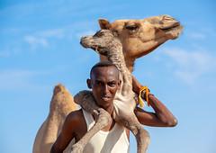 A somali man is holding a new born baby camel on his back, Awdal region, Lughaya, Somaliland (Eric Lafforgue) Tags: africa africanethnicity animal awdal camel developingcountry domestic domesticated dromedary eastafrica herbivorous horizontal hornofafrica livestock lookingatcamera lughaya mammal man men muslim newborn oneadultonly onemanonly oneperson outdoors ruralscene soma6599 somalia somaliland awdalregion