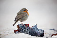European robin @ Helgoland, 2018 (Jan Rillich) Tags: helgoland heligoland northern sea northernsea nordsee insel düne sandstein jan rillich janrillich picture photo photography foto fotografie eos digital wildlife animal nature beautiful beauty sunny sun fauna flora free animalphotography image 2018 eastern winter küste nordseeküste sand dune dezember december 5dmarkiii canon canon100400mm europeanrobin bird european robin redbreast passerinebird birs migration vogelzug wet nass regen rain