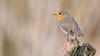 Robin (Wim Boon (wimzilver)) Tags: wimboon canoneos5dmarkiii canon300mmf4lis14ex robin roodborstje bird vogel vogelhut alblasserwaard nederland netherlands natuur nature