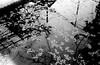 転写画 (transferred image) (Dinasty_Oomae) Tags: zeissikon ツァイス・イコン contessa コンテッサ 白黒写真 白黒 monochrome blackandwhite blackwhite bw outdoor 千葉県 千葉 chiba 船橋市 船橋 funabashi cherry cherryblossom サクラ