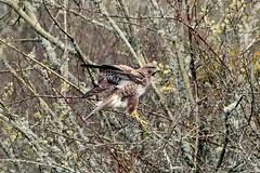 Buzzard balancing (karen leah) Tags: buzzard birdofprey bird teifimarshes cilgerran ceredigion april spring outdoors nature wildlife