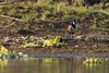 0724 Vanellus Indicus (Hrvoje Simich - gaZZda) Tags: outdoors nature green vanellus vanellusindicus chitwan nepal asia