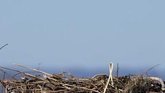 Out of Nowhere (RGL_Photography) Tags: birding birds birdsofprey birdsinflight birdwatching fisheagle fishhawk gardenstate jerseyshore monmouthcounty newjersey nikonafs600mmf4gedvr nikond500 osprey pandion haliaetus raptors seahawk us unitedstates wildlife wildlifephotography bif