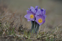 D71_4942A (vkalivoda) Tags: kurdějov depthoffield closeup delightful pretty wild delicious serene koniklec pasqueflower pulsatilla koniklecvelkokvětý pulsatillagrandis grosekuhschelle macro flower