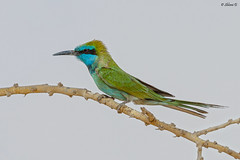 Green bee-eater (Dave 5533) Tags: greenbeeeater beeeater bird wild nature outdoor birdwatcher birdphotography birdsinisrael canoneos1dx canonef300mmf28 naturephotography wildlifephotography birds animalplanet