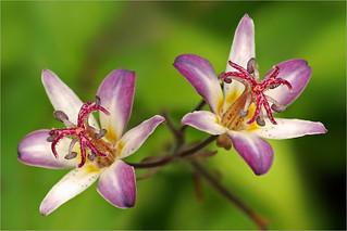 Toadlily (Tricyrtis species)