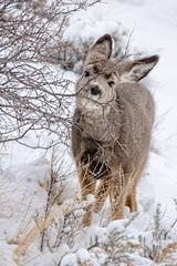 Looking for spring buds (Patty Bauchman) Tags: muledeer snow winter yellowstonenationalpark wildlife nature montana