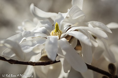 20180408-1201-Magnolia (Rob_Boon) Tags: macro magnolia plant wijlre flower robboon coth coth5