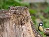 A l'attaque! (JB89100) Tags: 2018 mesanges oiseaux quoi