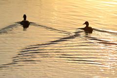 Crossing Wakes (NaturalLight) Tags: wake ripples ducks sunset chisholmcreekpark wichita kansas