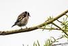 Carduelis carduelis 20180409_60299 (phhoog) Tags: hautrage stghislain hainaut aves passeriformes fringillidae carduelis cardueliscarduelis chardonneret goldfinch