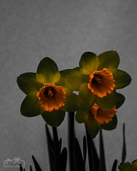 Daffodiles in a different light (John R Woodward Photography) Tags: daffodil nature mothernature flower colourful colour light canon canondslr canoneos canonllenses canon5dmarkiv llenses spring