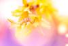 Spring 2018 (janeway1973) Tags: spring frühling garden garten macro makro closeup nahaufnahme colorful farbenfroh bunt flowers blossoms blumen blüten plants pflanzen backlighting gegenlicht forsythie forsythia