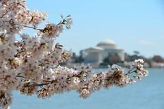 Peak blossoms (afagen) Tags: washington dc washingtondc districtofcolumbia tidalbasin cherryblossom sakura blossom jeffersonmemorial favorite explore bokeh