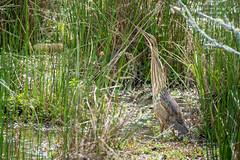 Camouflage (Jon Ariel) Tags: americanbittern heron bird camouflage gwinnett gwinnettcounty georgia northgeorgia