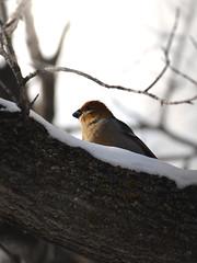 Bird (michaeldantesalazar) Tags: bird nature tree branch outdoors winter wildlife wild canada winnipeg manitoba cute