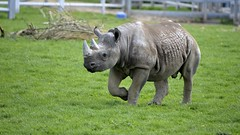 YWP9422 (davefieldson) Tags: animals outdoor rhino blackrhino ywp yorkshirewildlifepark