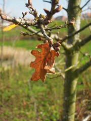 It may be Spring, but this leaf is still hanging in there. (AzoresGPTLW) Tags: oak spring nature nikon coolpix