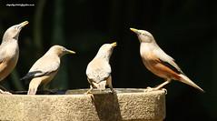 IMG_1766 Chestnut-tailed Starling (Sturnus malabaricus) (vlupadya) Tags: greatnature animal aves fauna indianbirds chestnuttailed starling sturnus kundapura karnataka