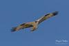 Male intruder Osprey makes flybys (TonysTakes) Tags: osprey hawk firestone weldcounty wildlife colorado coloradowildlife bird raptor