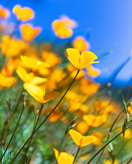 Poppies Under Blue Sky (optimalfocusphotography) Tags: northerncalifornia california amador landscape wildflowers amadorcounty nature poppies telephoto usa bokeh spring