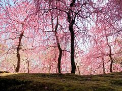 P1020182 (Mickey Huang) Tags: panasonic gx7 mk2 gx80 gx85 leica dg summilux 25mm f14 m43 mft kyoto japan 京都 日本 jonangu 城南宮 plum blossom 梅花 flowers travel 旅行