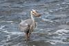 Great Blue Heron 500_3725.jpg (Mobile Lynn) Tags: herons birds greatblueheron wild nature ardeaherodias bird ciconiiformes coast fauna heron marsh wading wildlife wetland baltra galapagosislands ecuador ec