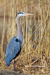 IMG_4680 (nitinpatel2) Tags: great blue heron bird nature nitinpatel
