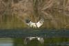 White-tailed Kite landing in water (richarde2812) Tags: ebparksok whitetailedkite raptor landinginwater contraloma behavior