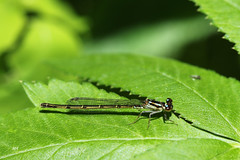 Agrion posé (F) / Fragile Forktail (F) (alainmaire71) Tags: insecte insect odonata odonate damselfly demoiselle coenagrionidae ischnuraposita agrionposé fragileforktail nature quebec canada