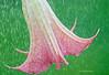 Intensidad (Adri T fotografías) Tags: rain lluvia nature naturaleza flor flower buenosaires argentina flores gotas nikkor nikon nikond7000 70200 sigma green sigma7020028