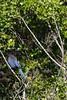 IMG_0970 (armadil) Tags: sanfrancisco sanfranciscobotanicalgarden sfbotanicalgarden bird birds jay jays stellersjay scrubjay motherhood spring