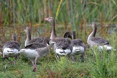 Greylag geese (MoGoutz) Tags: greylag geese anser prespes florina σταχτόχηνεσ πρέσπεσ μικρή πρέσπα άγιοσ αχίλλειοσ lake prespa st achilleios nikon d500