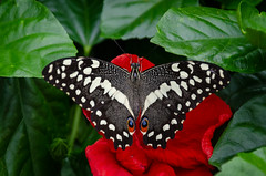 Chequered Swallowtail  Papilio demoleus (Stephen Reed) Tags: blenheimpalace oxfordshire butterfly tropical closeup plant naturalbeauty