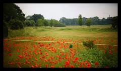 June (farmspeedracer) Tags: june juni 2018 summer red rot rouge flower fleur blume mohn germany landscape saturday