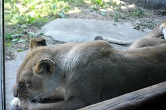 Fathers Day 2018 Zoo OG  (79) (edwarddallas) Tags: 2018 edwarddallas kansascityzoo zoo lioness