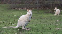 Albino Bennets wallabies (Tindo2 - Tim Rudman) Tags: macropus rufogriseus macropusrufogriseus wallaby white tasmania brunyisland kangaroo albino bennettswallaby australia wildlife
