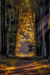 Golden path (Shots in the dark) Tags: forest light tree peterbijsterveldphotography path beautiful rays mood netherlands woods golden