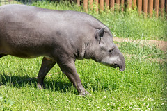 Flachlandtapir - Tapirus terrestris (marcoverch) Tags: fusball fusballwm moskau zoo fans animals football russland2018 deutschland wm2018 moskva russland ru mammal säugetier grass gras noperson keineperson wildlife tierwelt nature natur animal tier wild cute niedlich park outdoors drausen portrait porträt fur pelz grassland wiese looking schauend large gros field feld young jung hayfield heuhaufen farm bauernhof bicycle noiretblanc family bnw seascape new child cielo restaurant path flachlandtapir tapirusterrestris