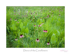 Dance of the Coneflowers (baldwinm16) Tags: il illinois landscape midwest native nature praire scenic season summer wildflower purpleconeflower whitewildindigo prairiedock natureofthingsphotography