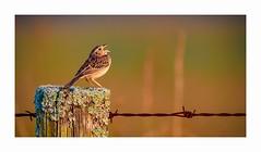 Song of Solitude (George McHenry Photography) Tags: sparrow grasshoppersparrow solitude southcarolinabirds southcarolina