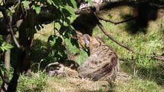 European wildcat 23-06-2018 004 (swissnature3) Tags: wildlife animals wildcat nature basel switzerland