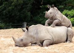 White Rhino Burgerszoo JN6A6453 (j.a.kok) Tags: rhino rhinoceros rhinocerosunicornis whiterhino witteneushoorn neushoorn breedlipneushoorn burgerszoo animal africa afrika mammal zoogdier dier herbivore