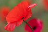 Pop-up (No'Mi (on and off)) Tags: poppy klaproos red rood macro sunlit bokeh dof highlights tamron 90mm tamron90mm flower