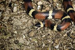 Scarlet King Snake 03 (Scott Sanford Photography) Tags: 80d canon ef100400mmf4556lii eos kingsnake naturalbeauty naturallight nature outdoor redandblack texas topazlabs wildlife reptile snake