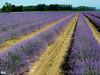 lavande (danie _m_) Tags: naturepic lavender landscape beautiful field flowers lovenature countryside nature fleurs paysage lavande campagne