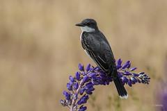 Eastern Kingbird / Tyran tritri (shimmer5641) Tags: tyrannustyrannus easternkingbird tyrantritri tiranooriental kingbird flycatcher birdsofbritishcolumbia birdsofnorthamerica